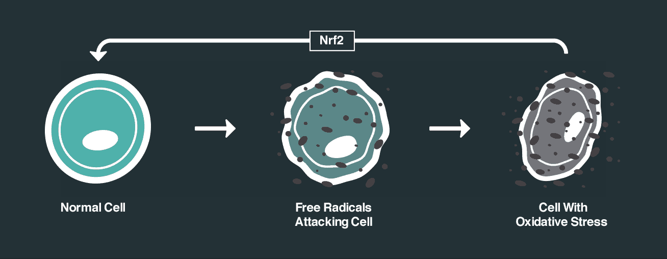 nrf2 effect on cells